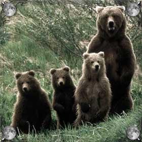 Много бурых медведей