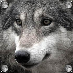 Много волков