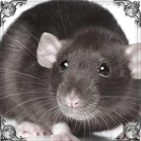 Напала крыса