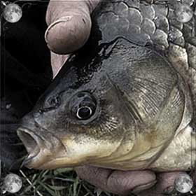 Нести рыбу