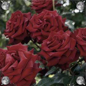 Нюхать розы
