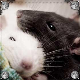 Очень много крыс