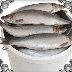Очень много рыбы