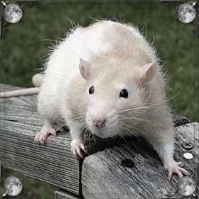 Огромная крыса