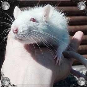 Отравить крысу