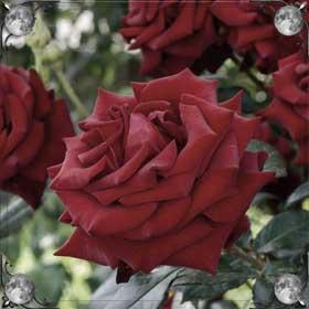 Пересаживать розы