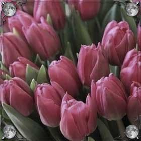 Подарили тюльпаны