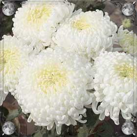 Покупать хризантемы