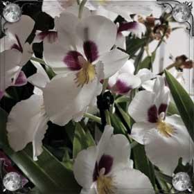 Покупать орхидеи