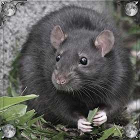 Покусали крысы