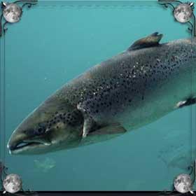 Поймать лосося