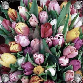 Пурпурные тюльпаны