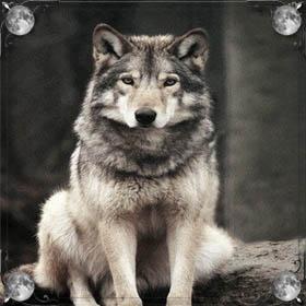 Раненый волк