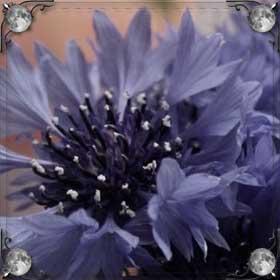 Распускающиеся цветы