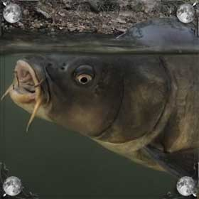 Рыба без хвоста