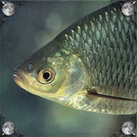 Рыба рожает рыбу