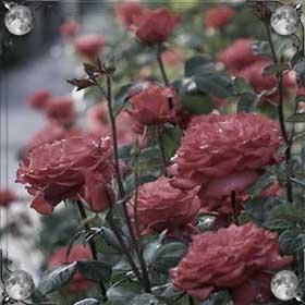 Роза растет