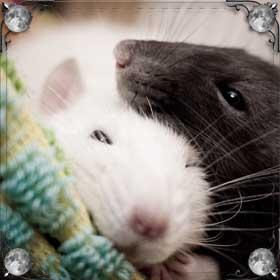 Ручная белая крыса