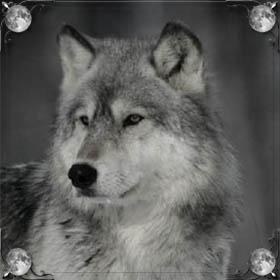 Ручной волк