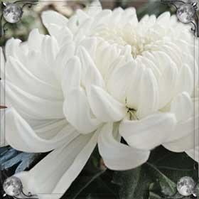 Рвать хризантемы