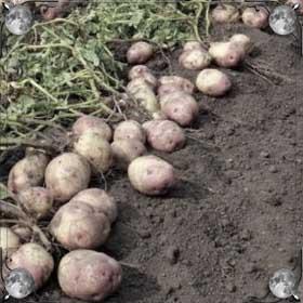 Сажать картофель