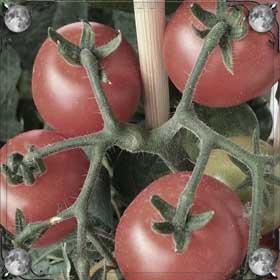Сажать помидоры