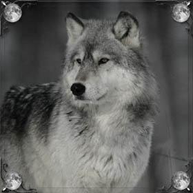 Щенок волка