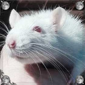 Синяя крыса