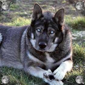 Собака волк