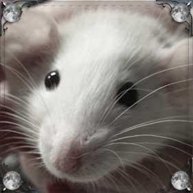 Спасти крысу