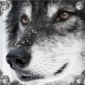Спасти волка