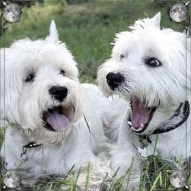 Светлые собаки