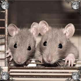 Травить крыс