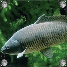 Тухлая рыба