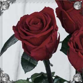 Уколоться розой