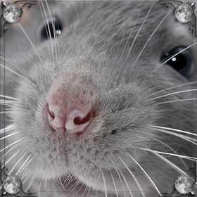 Укусила крыса за руку