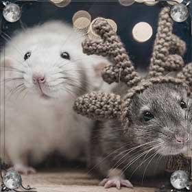 Умирающая крыса