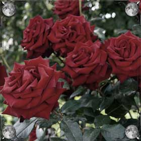 Вдыхать аромат роз