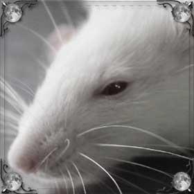 Видеть крысу