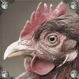 Видеть курицу