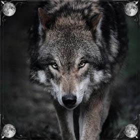 Волки дерутся