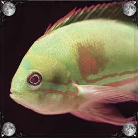 Желтая рыба