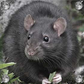Жирная крыса
