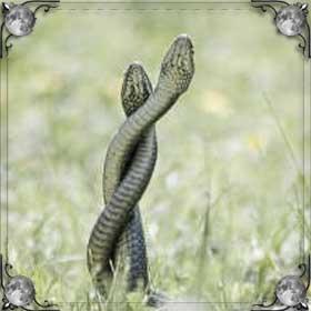 Змеи дерутся