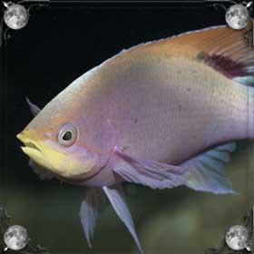 Золотая рыба